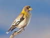 "<div class=""jaDesc""> <h4> Female Evening Grosbeak in Morning Sun</h4> </div>"