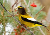 "<div class=""jaDesc""> <h4> Male Evening Grosbeak</h4> </div>"