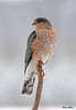 "<div class=""jaDesc""> <h4> Sharp-shinned Hawk on Perch</h4> </div>"
