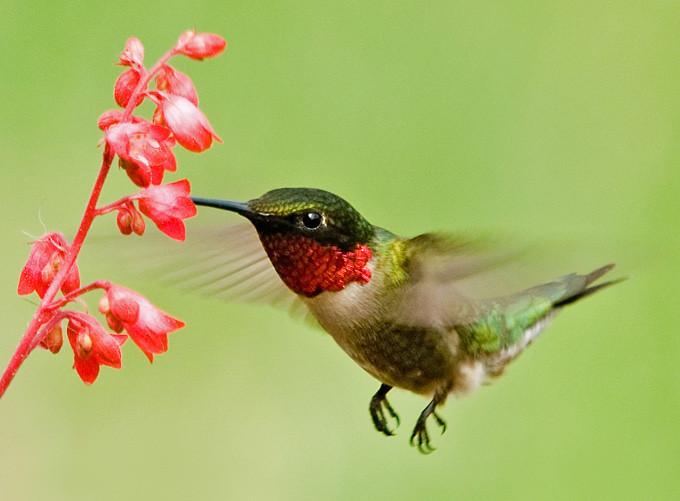 "<div class=""jaDesc""> <h4>Hummingbird at Coral Bells </h4> <p> </p> </div>"