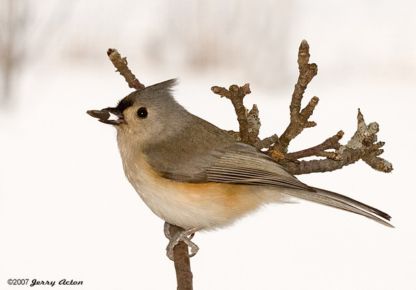 """<div class=""""jaDesc""""> <h4> Tufted Titmouse with Sunflower Seed</h4> </div>"""