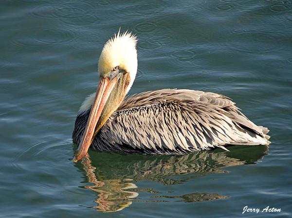 "<div class=""jaDesc""> <h4> Brown Pelican Sun Bathing</h4> </div>"