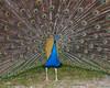 """<div class=""""jaDesc""""> <h4> Peacock Close-up</h4> </div>"""