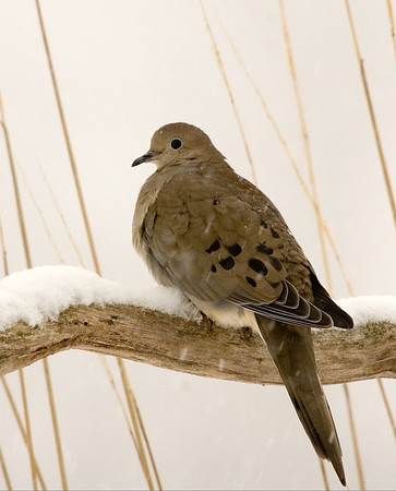 """<div class=""""jaDesc""""> <h4> Mourning Dove on Snowy Perch</h4> </div>"""