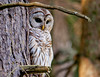 """<div class=""""jaDesc""""> <h4> Female Barred Owl Watching Her Youngsters</h4> </div>"""