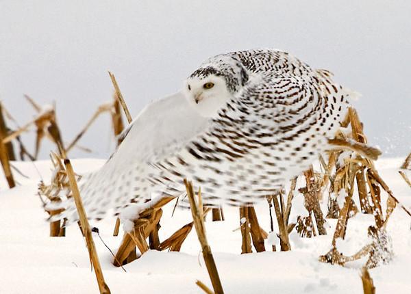 "<div class=""jaDesc""> <h4> Female Snowy Owl In-flight</h4> </div>"