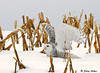 "<div class=""jaDesc""> <h4> Female Snowy Owl Taking Off</h4> </div>"