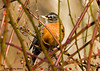 "<div class=""jaDesc""> <h4> Robin in Wild Rose Bush</h4> </div>"