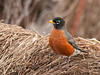 "<div class=""jaDesc""> <h4> Robin on Hay Bale</h4> </div>"