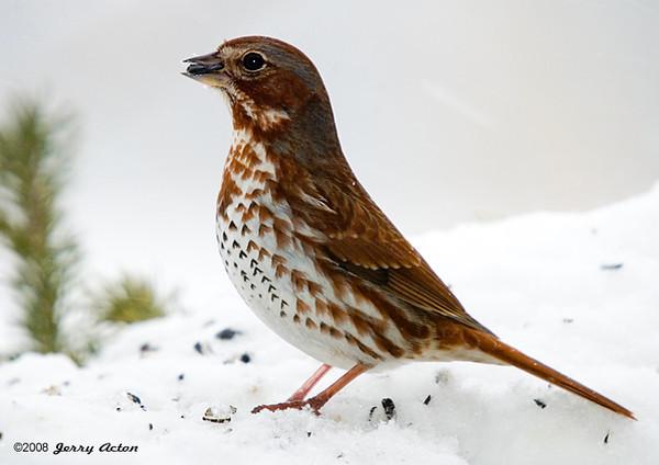 "<div class=""jaDesc""> <h4> Fox Sparrow on Snowy Perch</h4> </div>"