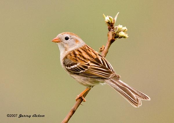 """<div class=""""jaDesc""""> <h4> Field Sparrow on Budding Cranberry Bush</h4> </div>"""