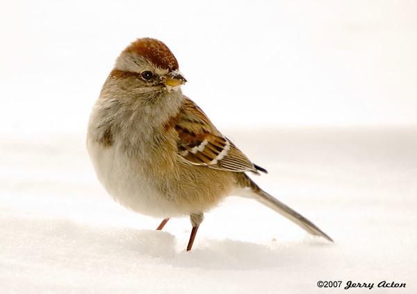 "<div class=""jaDesc""> <h4> Tree Sparrow in Snow Bank</h4> </div>"