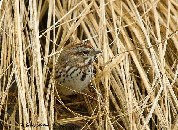 "<div class=""jaDesc""> <h4> Song Sparrow in Ornamental Grass</h4> </div>"
