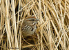 "<div class=""jaDesc""> <h4> Song Sparrow in Ornamental Grass</h4> </div>"