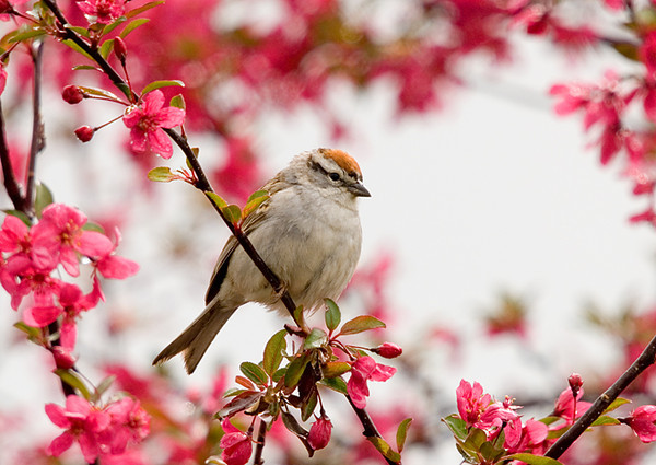 """<div class=""""jaDesc""""> <h4> Chipping Sparrow in Crabapple Tree</h4> </div>"""