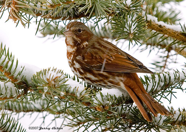 "<div class=""jaDesc""> <h4> Fox Sparrow in Snowy Spruce Tree</h4> </div>"