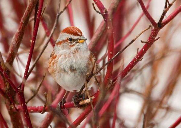 "<div class=""jaDesc""> <h4> Tree Sparrow in Red-twig Dogwood Bush</h4> </div>"