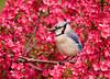 "<div class=""jaDesc""> <h4> Blue Jay in Blooming Crabapple Tree </h4> </div>"
