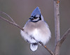 "<div class=""jaDesc""> <h4> Blue Jay Fluffed Against the Cold </h4> </div>"