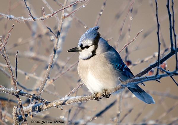 "<div class=""jaDesc""> <h4> Blue Jay in Frosty Tree </h4> </div>"