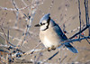 "<div class=""jaDesc""> <h4> Blue Jay in Frosty Tree </h4> </div>"