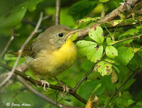 """<div class=""""jaDesc""""> <h4> Female Common Yellowthroat in Thicket</h4> </div>"""