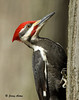 "<div class=""jaDesc""> <h4> Male Pileated Woodpecker on Tree Trunk</h4> </div>"