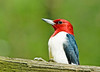 "<div class=""jaDesc""> <h4> Red-headed Woodpecker on Fence Rail</h4> </div>"