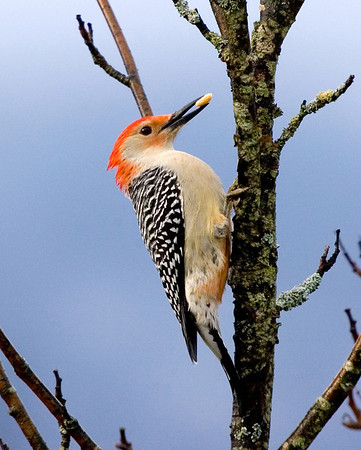 """<div class=""""jaDesc""""> <h4> Male Red-bellied Woodpecker with Peanut</h4> </div>"""