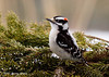 "<div class=""jaDesc""> <h4> Male Downy Woodpecker on Evergreen Boughs</h4> </div>"