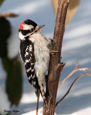 "<div class=""jaDesc""> <h4> Male Downy Woodpecker on Sunflower Stalk</h4> </div>"