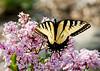 "<div class=""jaDesc""> <h4> Eastern Tiger Swallowtail on Lilac Bush</h4> </div>"