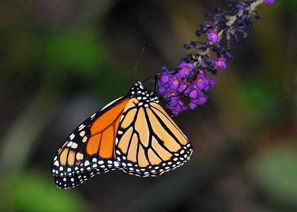 "<div class=""jaDesc""> <h4> Monarch on Butterfly Bush</h4> </div>"