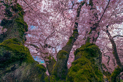 Under the Cherry Tree 2