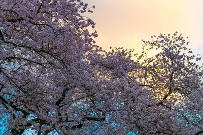 Fire Behind the Blossoms