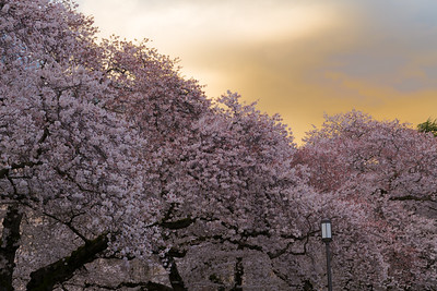 Blossoms Under Evening Skies