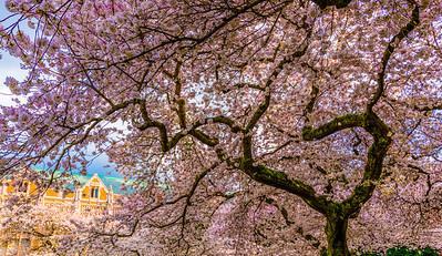 Cherry Blossom Overdose