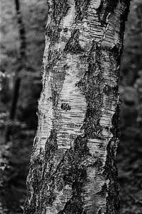 Uncut birch