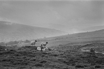 Sheep, above Dent dale
