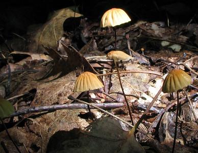 Marasmius siccus.