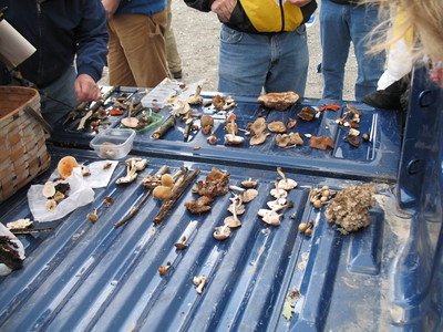 Truck bed serves as table for mushroom finds