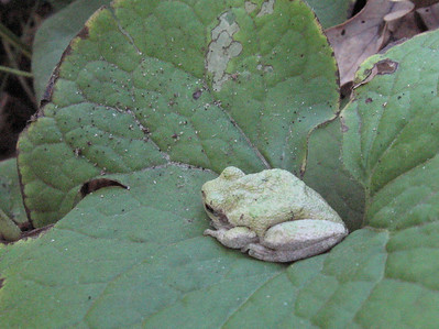 Gray Tree frog trying his best to blend in and keep warm