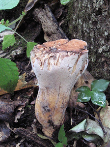 "Polyporus radicatus, the ""Rooting Polypore"""
