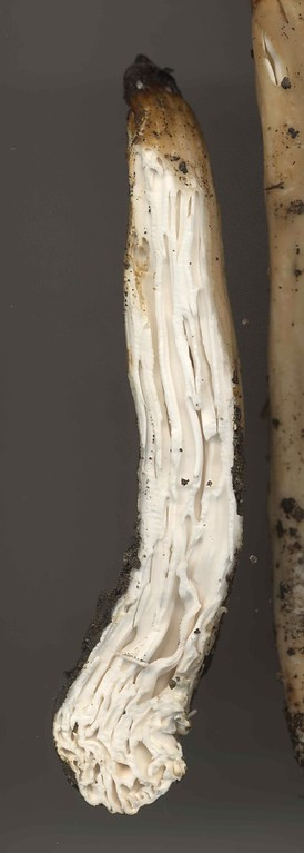 Underwoodia columnaris