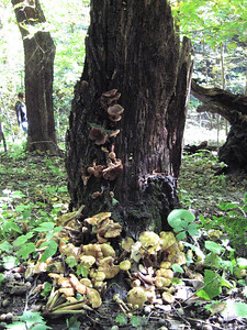 This amount of Honey Mushrooms was repeated at many trees.