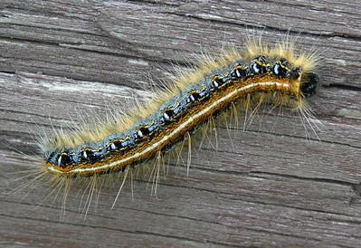 Eastern Tent Caterpillar, Malacosoma americanum