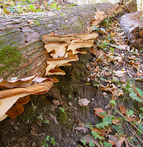 A line of Ischnoderma resinosum on a log