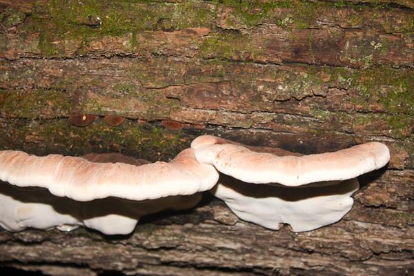 Straight; view; Ischnoderma resinosum on log at Wickiup.