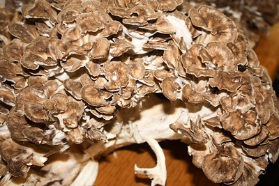 Partial view;  Huge Grifola frondosa in mint condition that Glen Schwartz discovered near the Wickiup Center.
