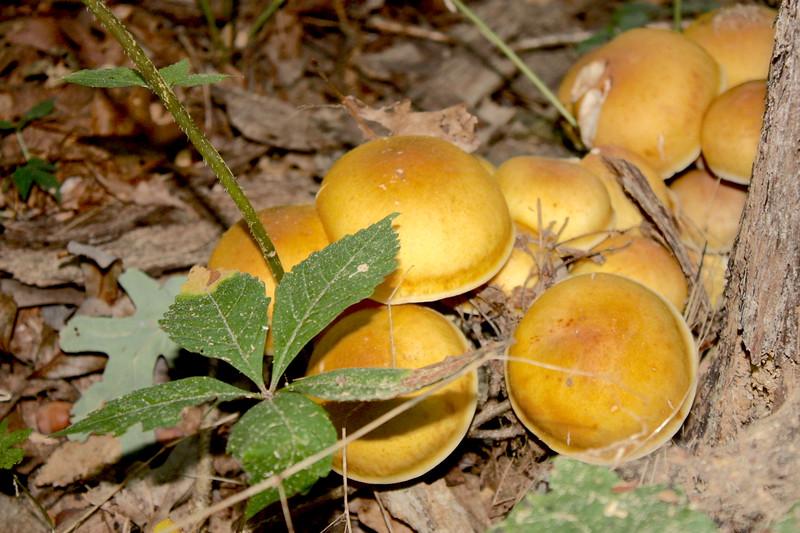Honey Mushroom